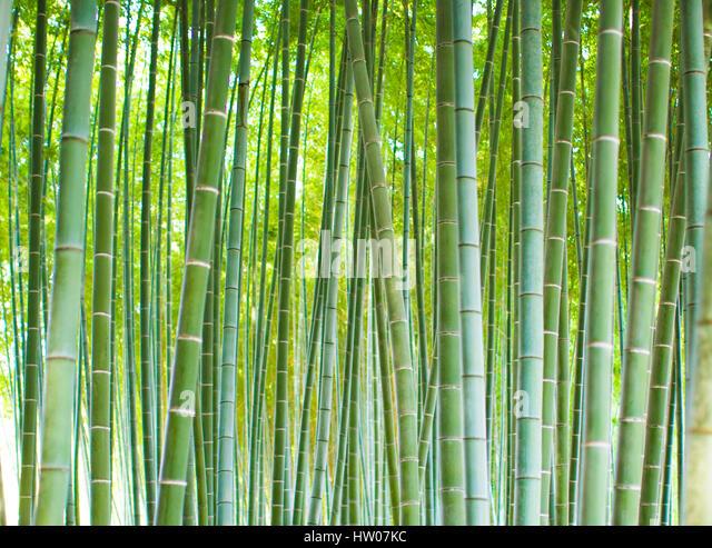 Bamboo Groves, bamboo forest in Arashiyama, Kyoto Japan. - Stock Image