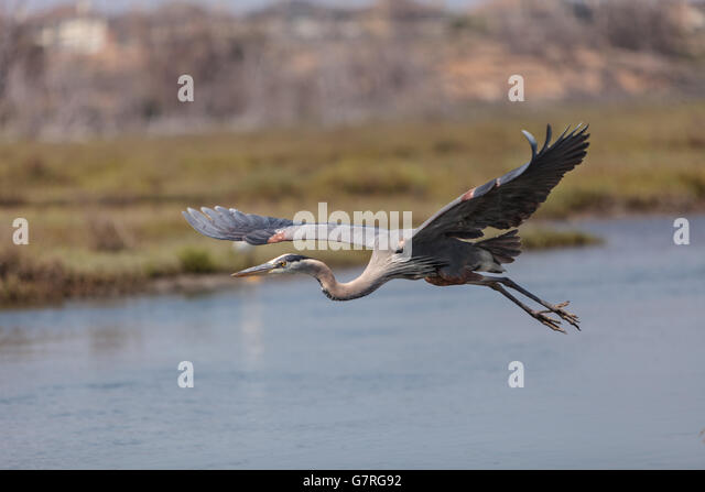 Great Blue Heron Beach Stock Photos Amp Great Blue Heron