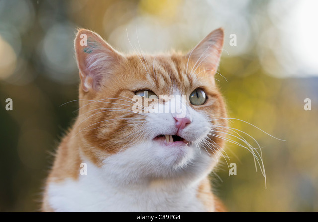 Germany, Bavaria, Close up of angry European Shorthair cat - Stock Image
