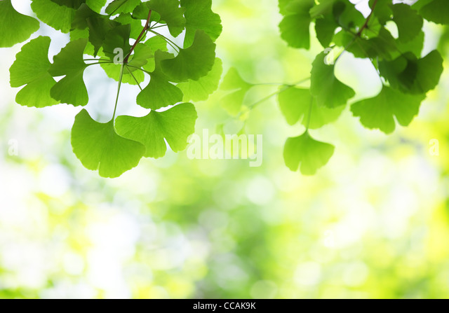 ginkgo leaves, shallow focus. - Stock Image