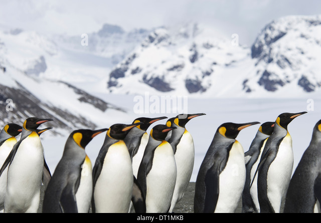 A group of king penguins Aptenodytes patagonicus on South Georgia island - Stock-Bilder