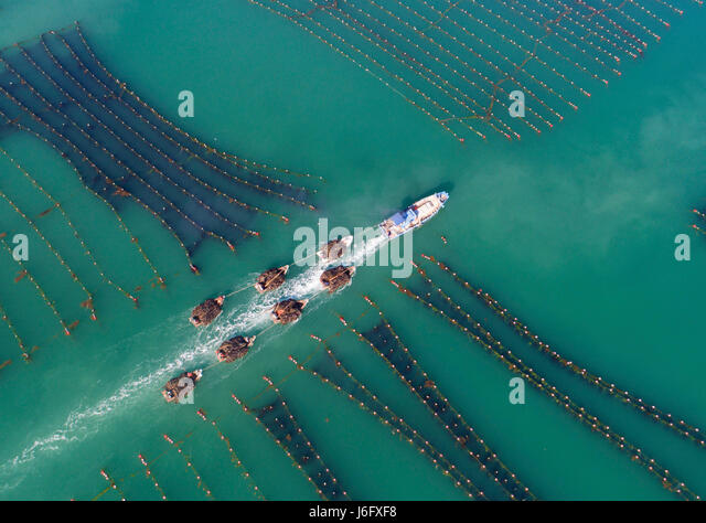 Beijing, China's Shandong Province. 16th May, 2017. Fishermen transport kelp to a port in Rongcheng, east China's - Stock Image