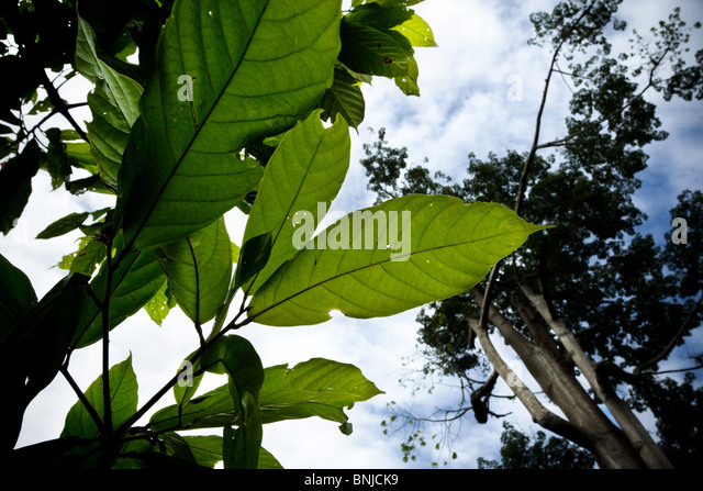 Green leaves in the forest, Ghana. - Stock Image