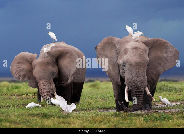 African elephant (Loxodonta africana), two elephants at feeding in swamp, Kenya, Amboseli National Park - Stock-Bilder