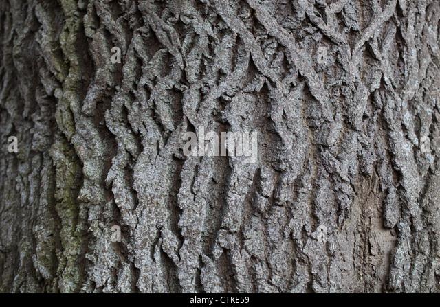 Ash Wood Bark ~ Ash tree bark stock photos images