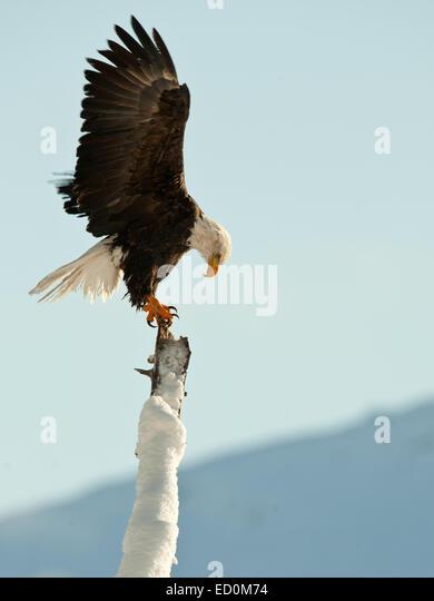 BALD EAGLE ( Haliaeetus leucocephalus )   perched on tree. Chilkat River Alaska USA America . - Stock-Bilder