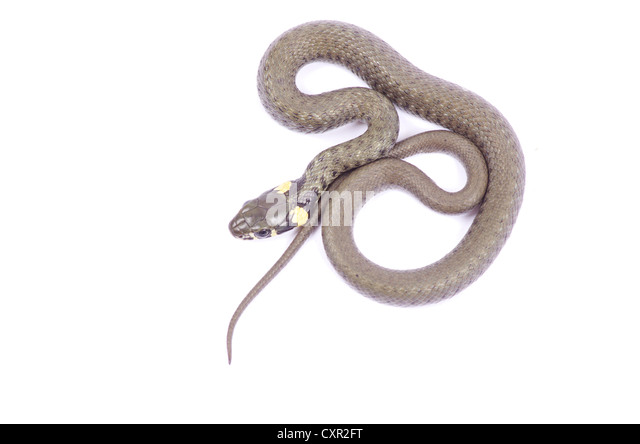 snake isolated on white background - Stock Image