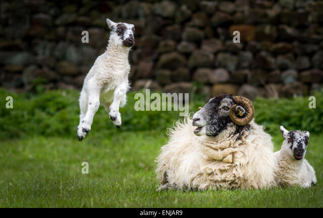 Farm animals: Humorous photo of cute leaping lamb symbolising springtime, Yorkshire, UK - Stock Image