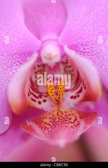 Phalaenopsis Orchid flower close up - Stock-Bilder