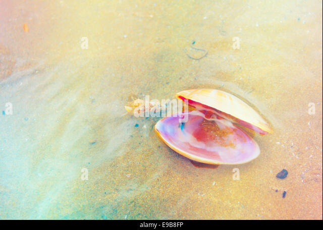 A shell washed up upon the shores in Wales. - Stock Image