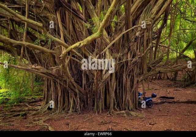 Banyon Tree. Hawaii, The Big Island. - Stock Image