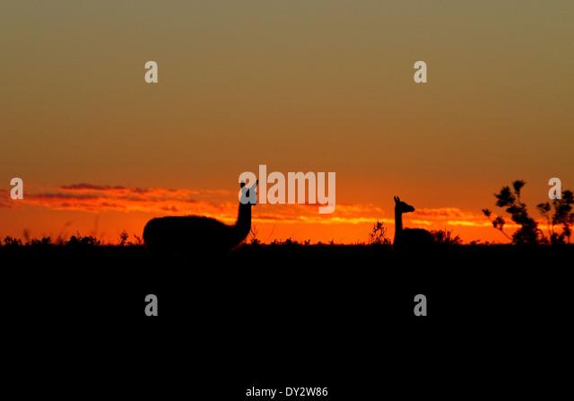 Guanaco at sunrise among the landscape of Peninsula Valdes, Valdez, Patagonia, Argentina. - Stock-Bilder