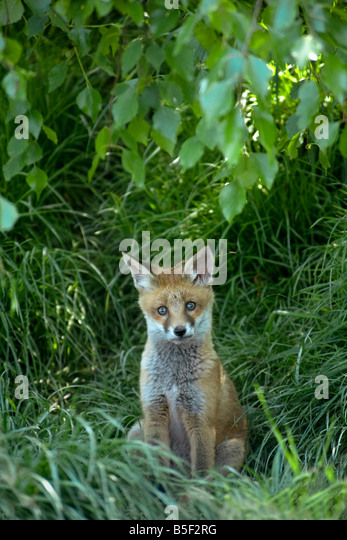 Red fox Vulpes vulpes cub close to den entrance with remains of hazel catkin on head - Stock Image