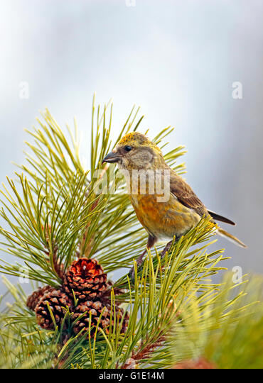 Female Cross-bill perched in pine tree looking to collect seeds from the pine cones. - Stock-Bilder