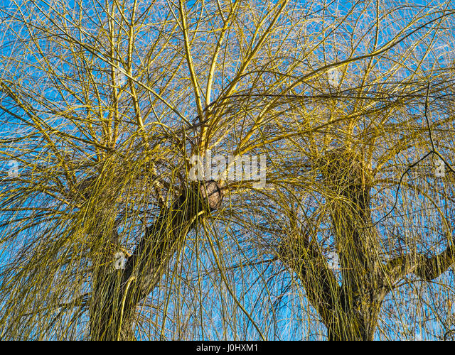 Willow tree branches before leafing. - Stock Image