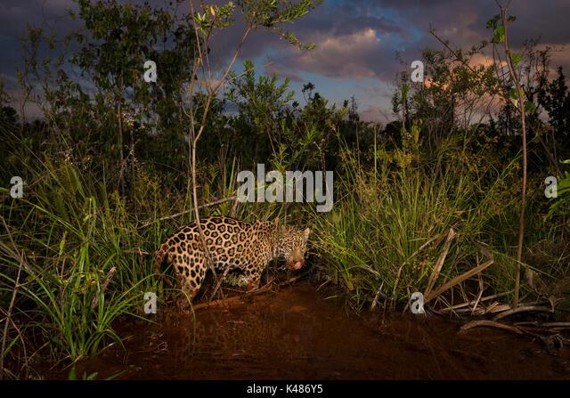 A Jaguar explores a wetland in Central Brazil - Stock Image
