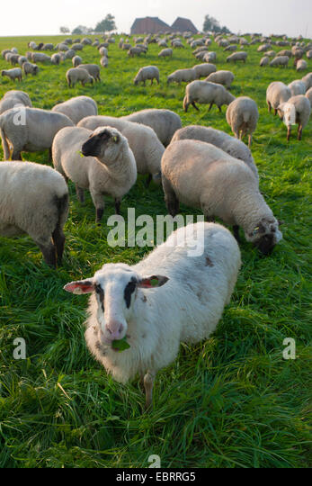 German Hampshire, German blackheades mutton (Ovis ammon f. aries), herd in a pasture, Germany, North Rhine-Westphalia - Stock Image