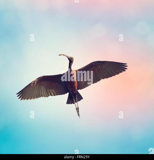 Glossy Ibis in Flight Against a Blue Sky - Stock-Bilder