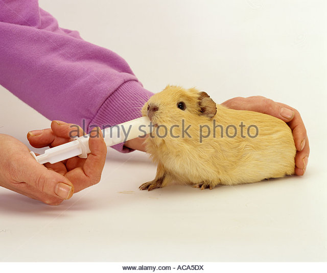 Guinea Pig, gets vitamins, cavy porcellus, - Stock Image