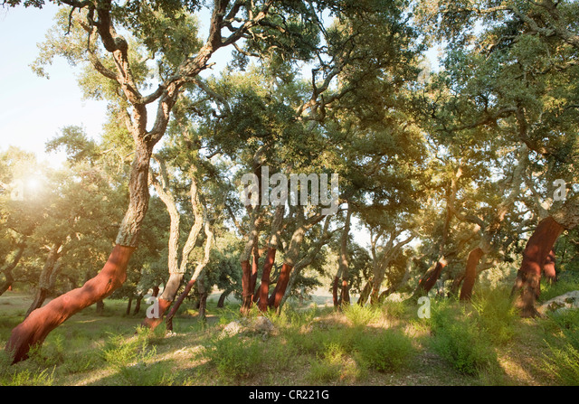 Stripped cork trees in rural forest - Stock Image