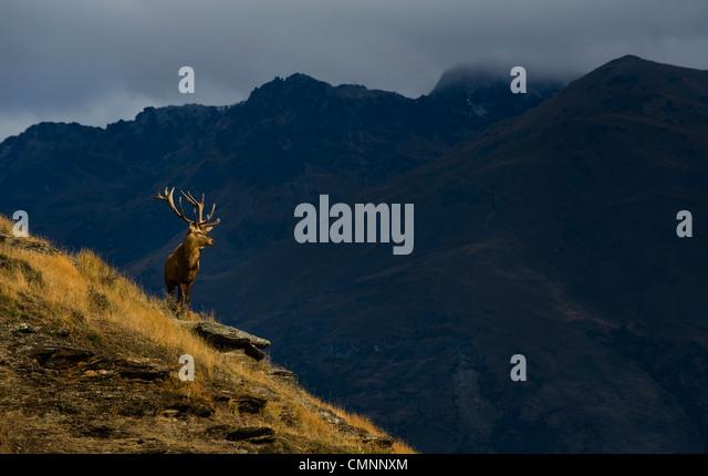 elk (deer) in front of the Remarkables mountain range near Queenstown, Otago, New Zealand, on April 11, 2009. (Adrien - Stock-Bilder