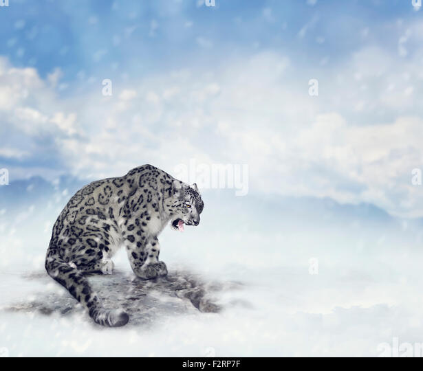 Snow Leopard Sitting on the Rock - Stock-Bilder