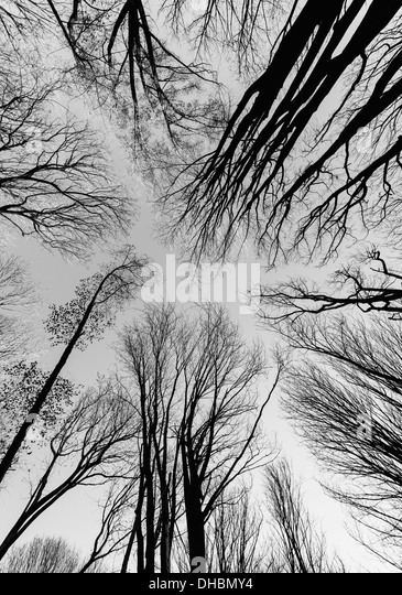 Low angle view of forest canopy and sky, Seattle - Stock Image