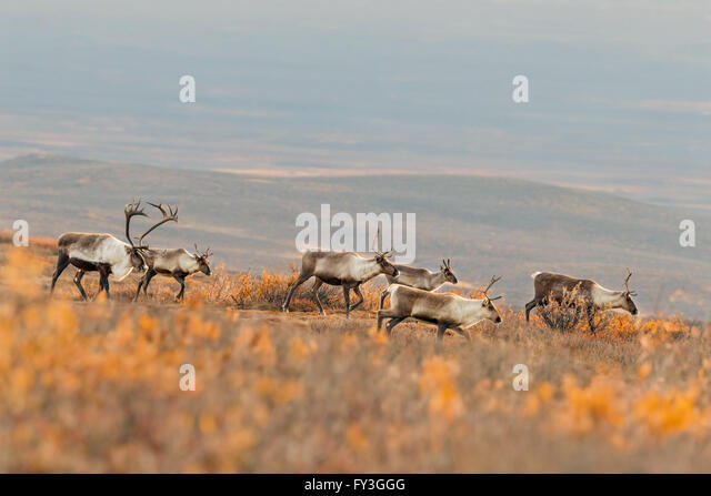 A bull caribou follows his harem in the Alaska tundra during the autumn rut. - Stock-Bilder