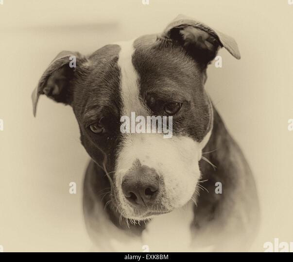 Black & White photograph of pet dog - Stock Image