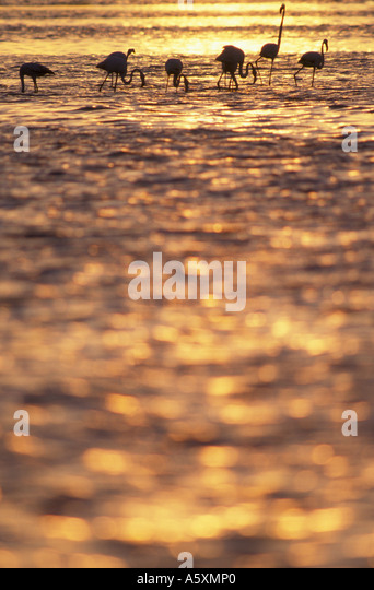 Greater Flamingos at Sunset Bahrain Arabian Gulf - Stock Image
