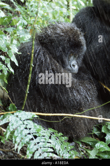 Mountain gorilla in the rain Parc des Virungas Democratic Republic of Congo - Stock-Bilder