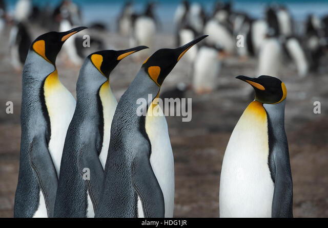 King Penguins (Aptenodytes patagonicus) on Saunders Island - Stock Image