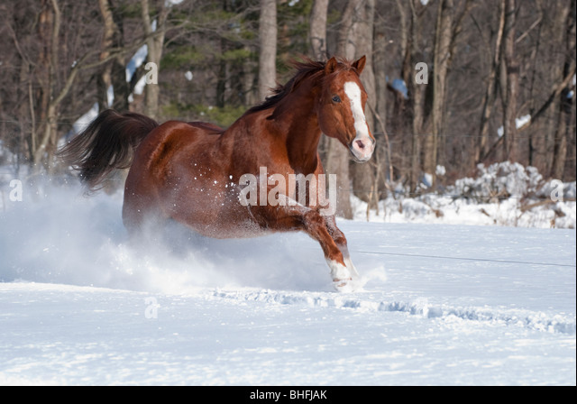 Picture of quarter horse gelding running in sunlight in new fallen snow. - Stock Image