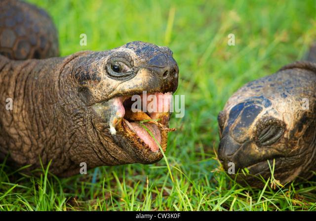 Giant tortoise (Geochelone gigantea). Vulnerable species. Dist. Seychelles islands. - Stock-Bilder