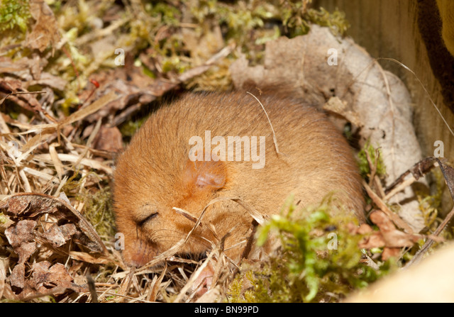 Torpid dormouse in nestbox, near Ruthin, North Wales. - Stock Image