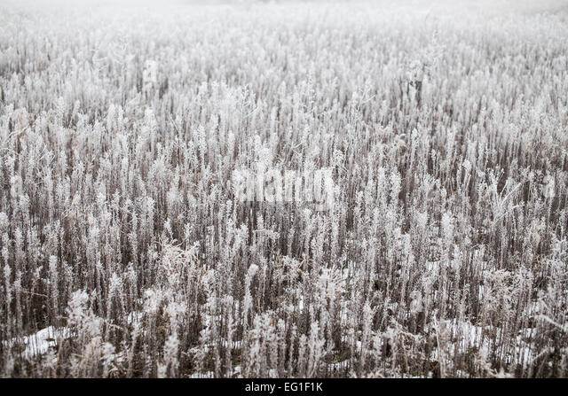 Grass covered with hoarfrost on a foggy winter day - Stock Image