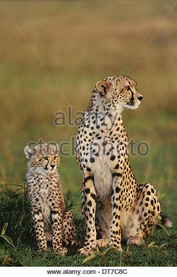 Cheetah mother and cub Acinonyx jubatus Masai Mara Reserve Kenya Masai Mara Reserve Kenya - Stock Image