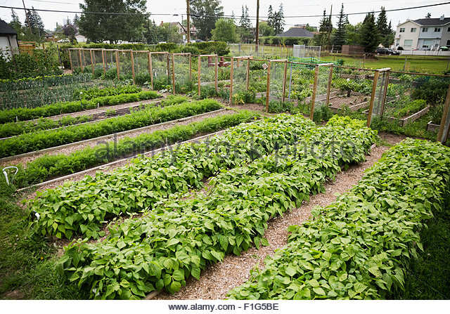 Plants growing in rows in community garden - Stock Image