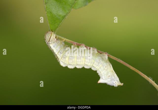 Maple Prominent - Ptilodon cucullina - Stock Image