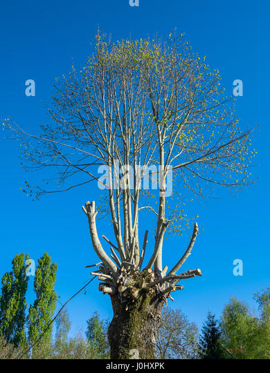 Badly pruned mature tree. - Stock Image