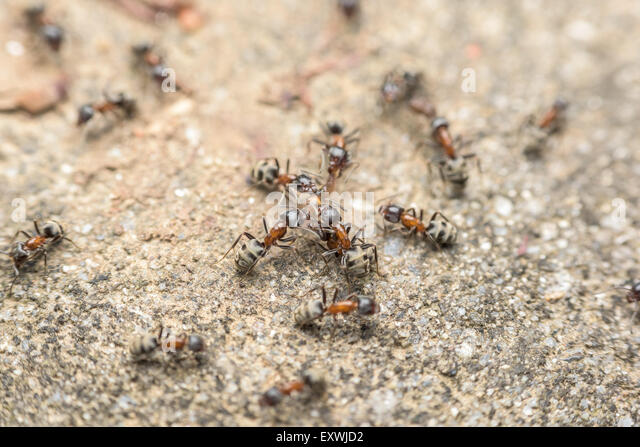 Swarm Of Ants Fights For Food - Stock Image