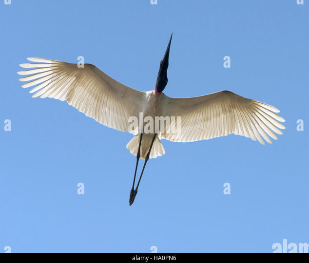 Jabiru Stork in Flight - Stock Image