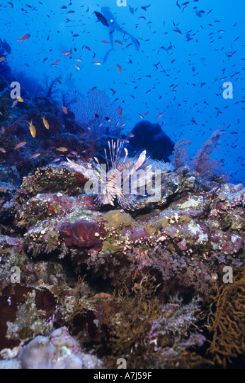 diver exploring coral reef in the Red Sea - Stock Image