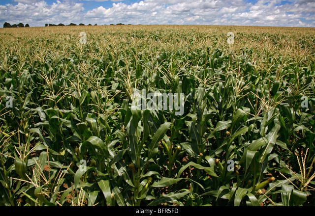 Field of Maize plants - Stock Image