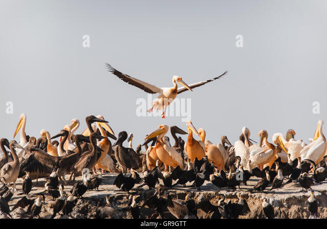 Great White Pelican (Pelecanus onocrotalus) breeding colony, adult male landing, Djoudj National Park, Senegal - Stock Image