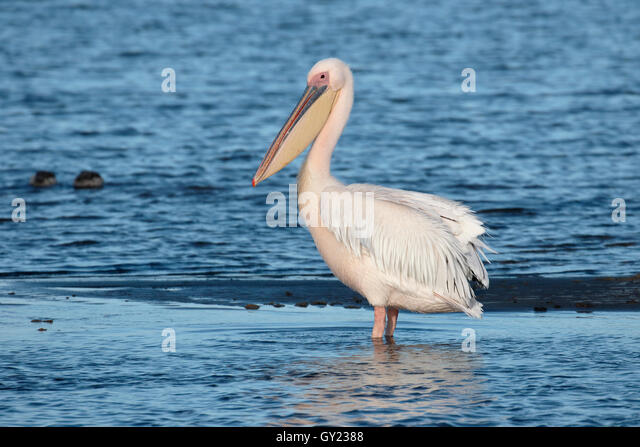 Eastern-white pelican, Pelecanus onocrotalus, single bird by water, South Africa, August 2016 - Stock Image