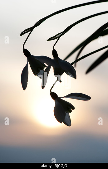 Snowdrops flowering silhouette against a wintry sun. UK - Stock Image