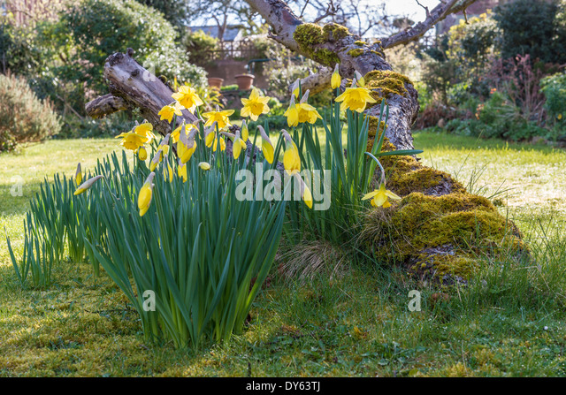Daffodils growing in garden under old apple tree in spring. Eighth of sequence of 10 (ten) images photographed over - Stock Image