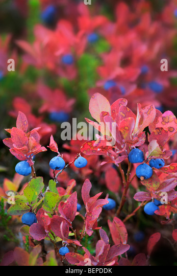 Blueberries in the fall near Park Butte in the Mount Baker Wilderness - Stock Image