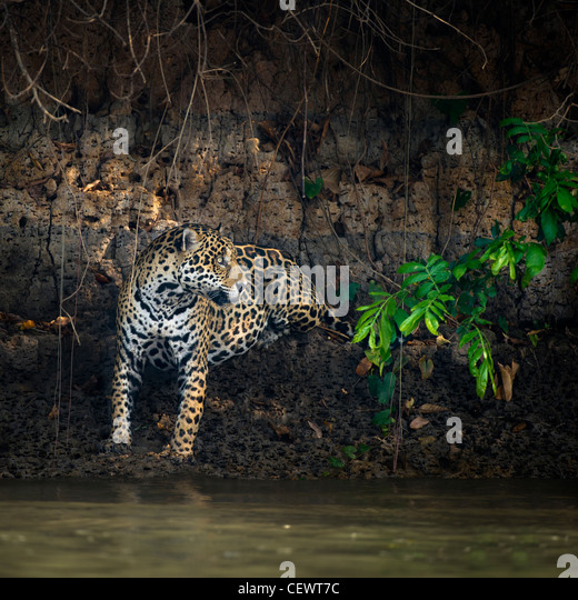 Wild male Jaguar at the edge of the Piquiri River, a tributary of Cuiaba River, Northern Pantanal, Brazil. - Stock-Bilder